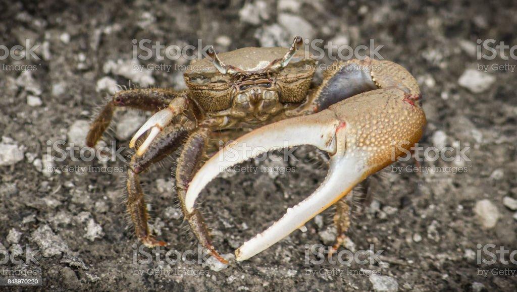 Fiddler Crab stock photo