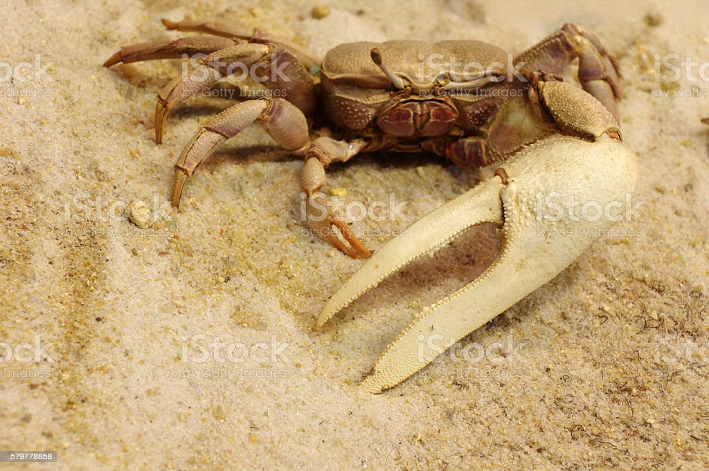 Fiddler crab taxidermy objects stock photo