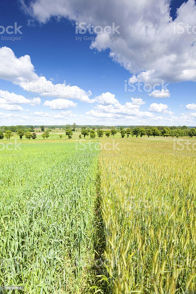 Field and blue sky royalty-free stock photo