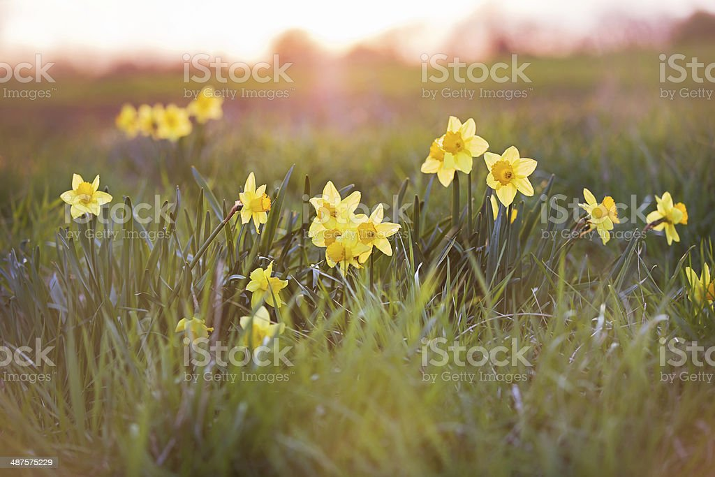 Field and Daffodils stock photo