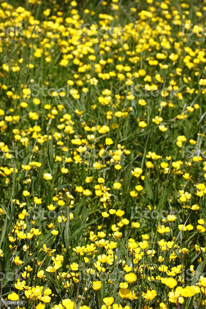 Field Buttercup stock photo