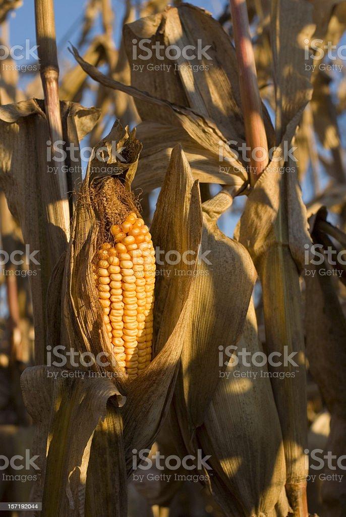 Field Corn stock photo