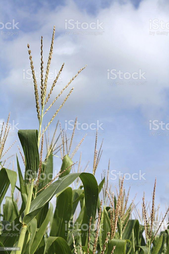 Field Corn Tassels stock photo