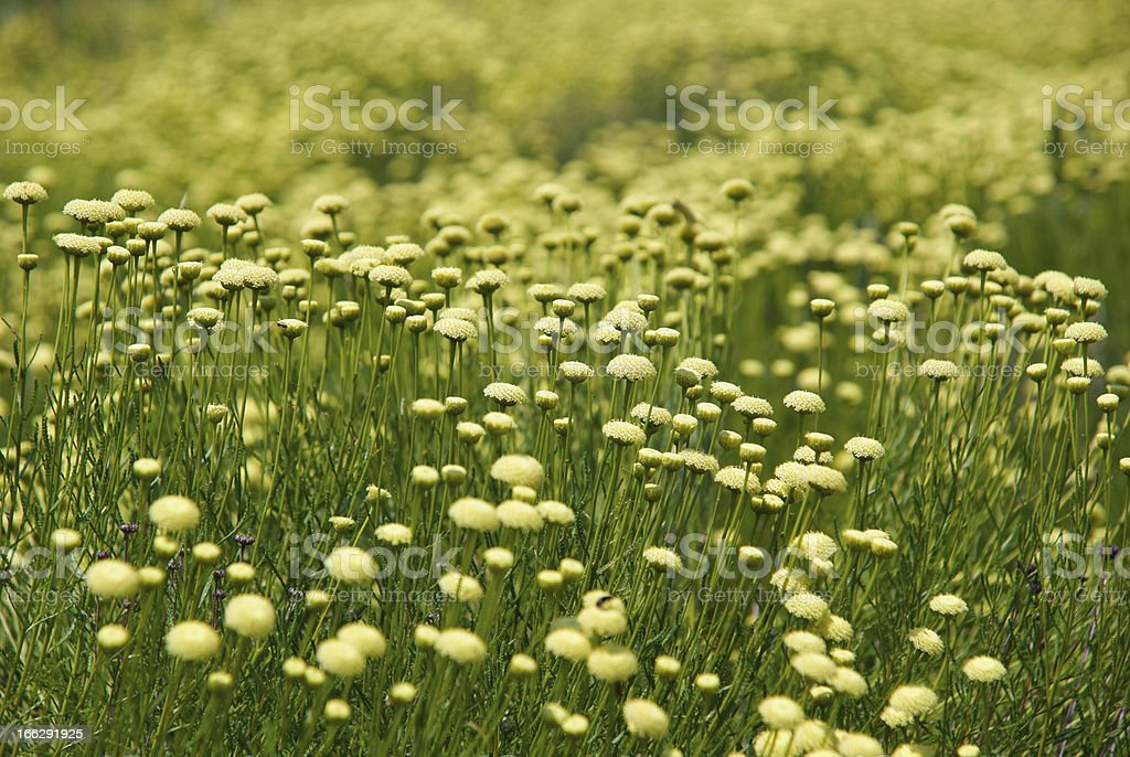Field covered with flowers royalty-free stock photo