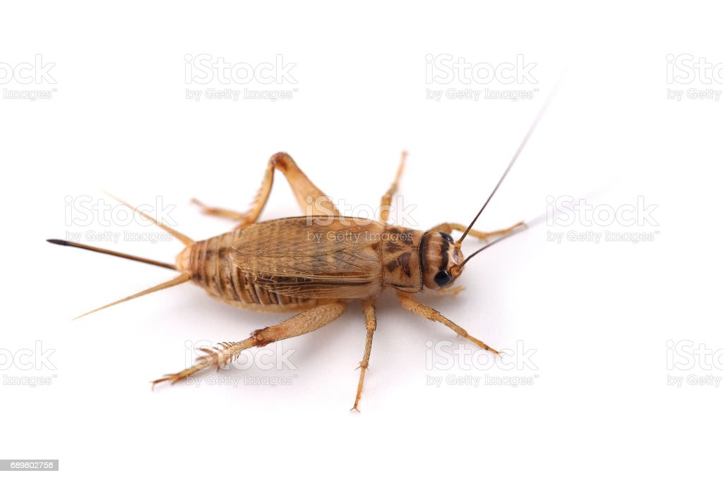 field cricket isolated on white background stock photo
