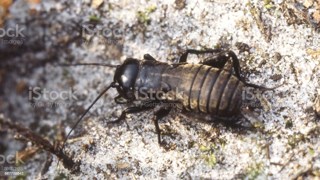 Field Cricket (Gryllus campestris) Nymph stock photo