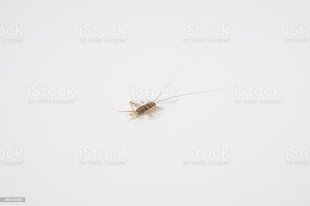Field Cricket or Orthoptera on white background stock photo