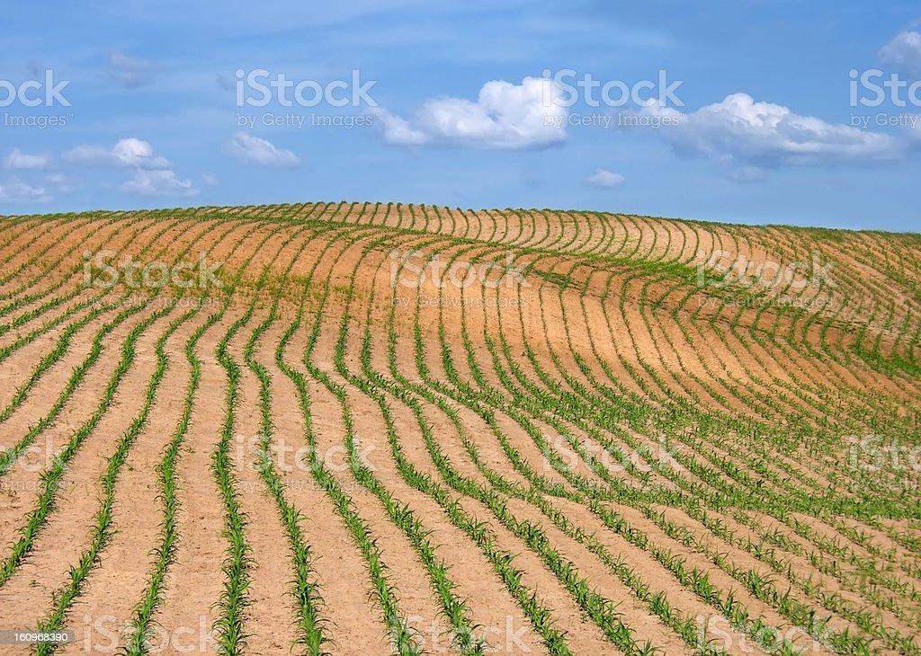 Field crop royalty-free stock photo