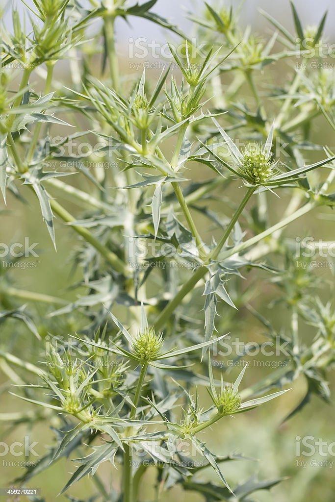 Field Erynge (Eryngium campestre) stock photo
