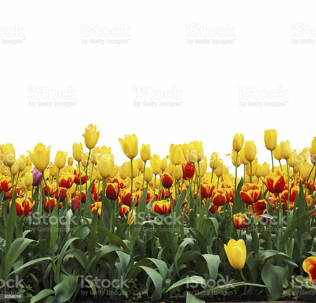 A field filled with red and white tulips royalty-free stock photo