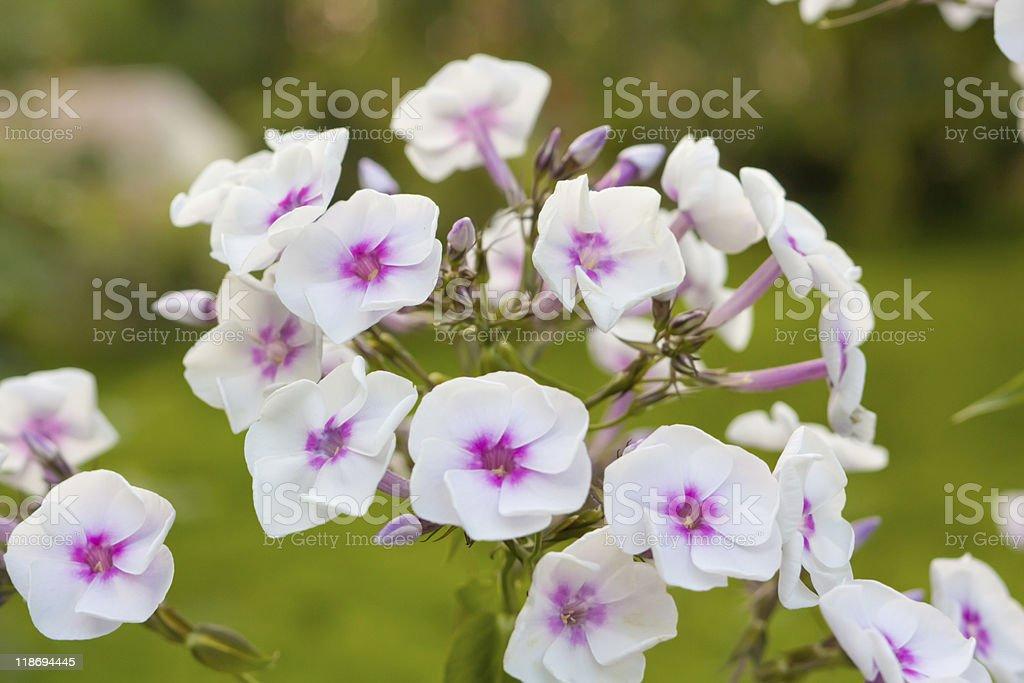 Field flower stock photo
