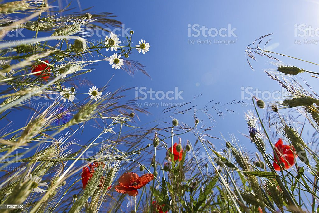 field flowers royalty-free stock photo