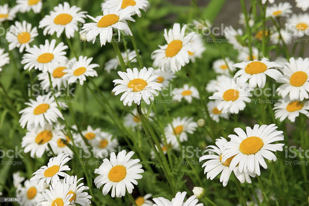 A field full of chamomile flowers royalty-free stock photo