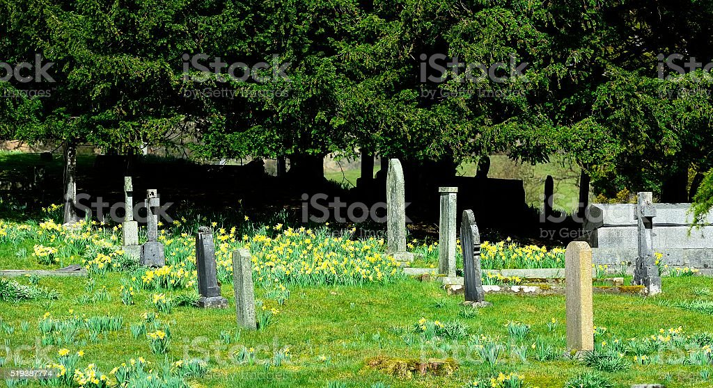 Field full of daffodils stock photo