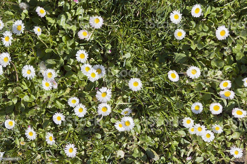 field full of daisies stock photo