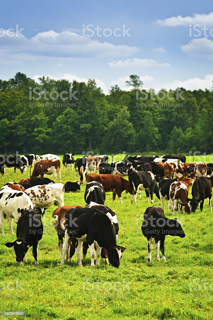 A field full of different colored cows stock photo