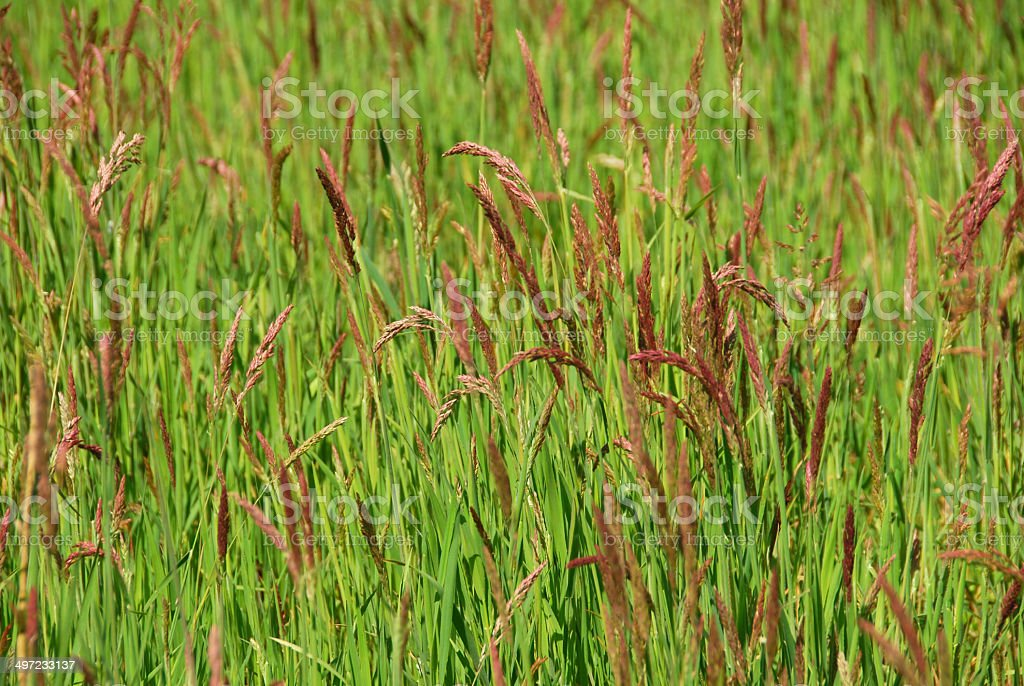 Field full of Festuca rubra . stock photo
