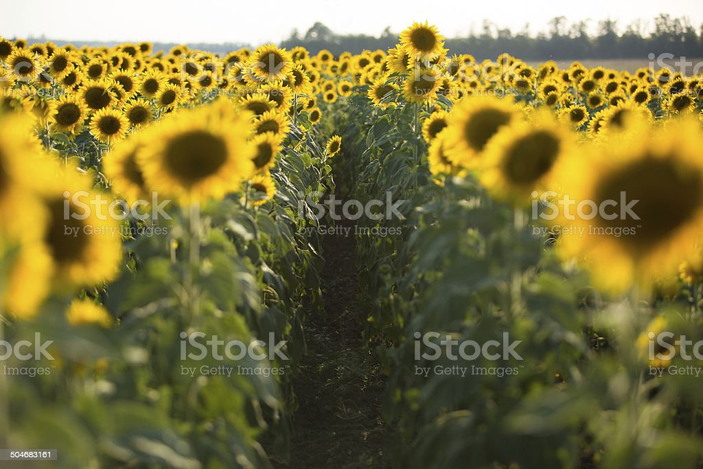 field gold royalty-free stock photo