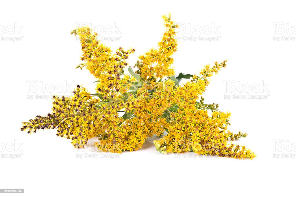 Field Goldenrod plant stock photo