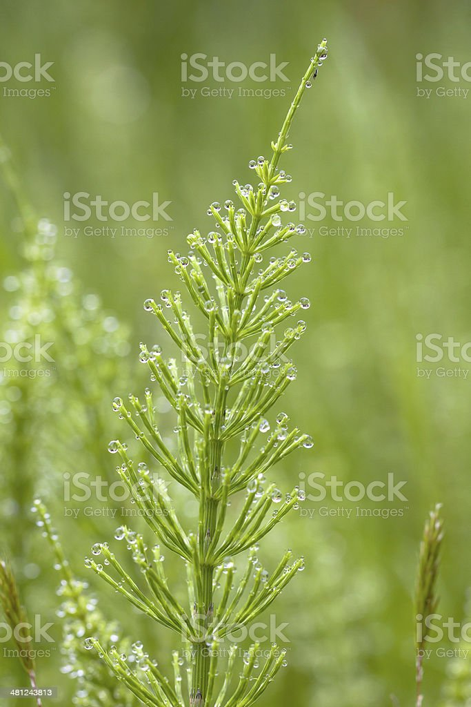 Field horsetail weed stock photo