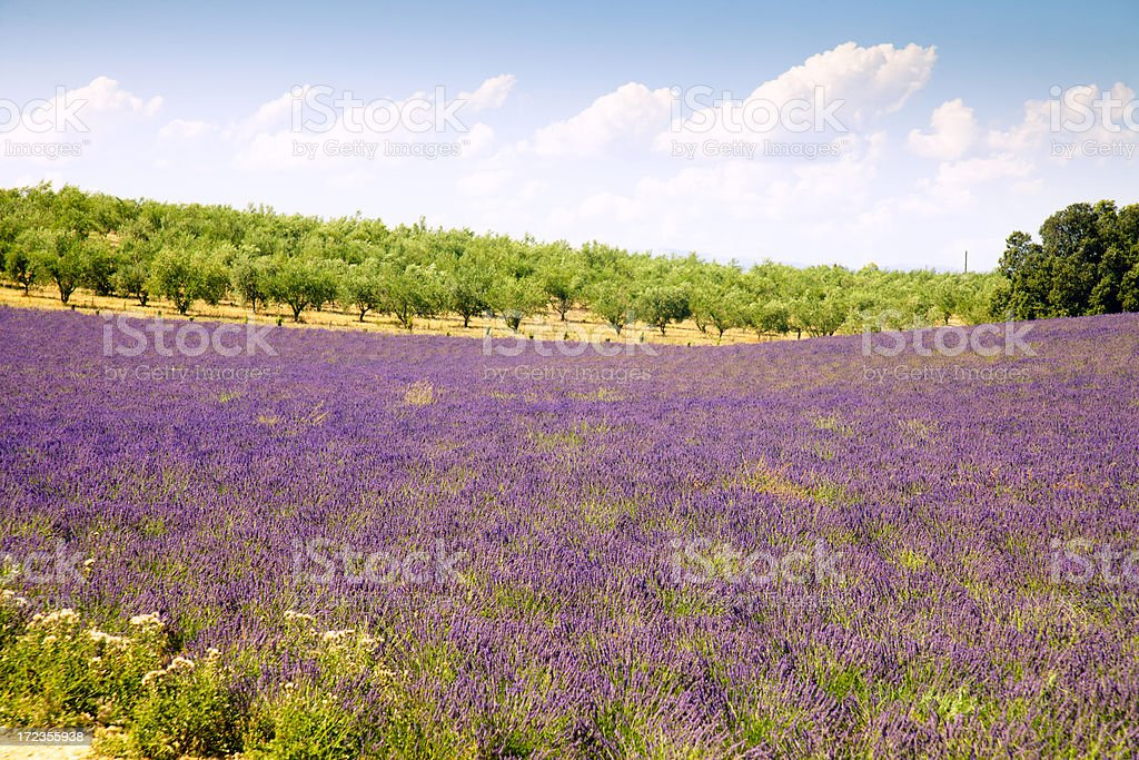 Field in the Provence stock photo