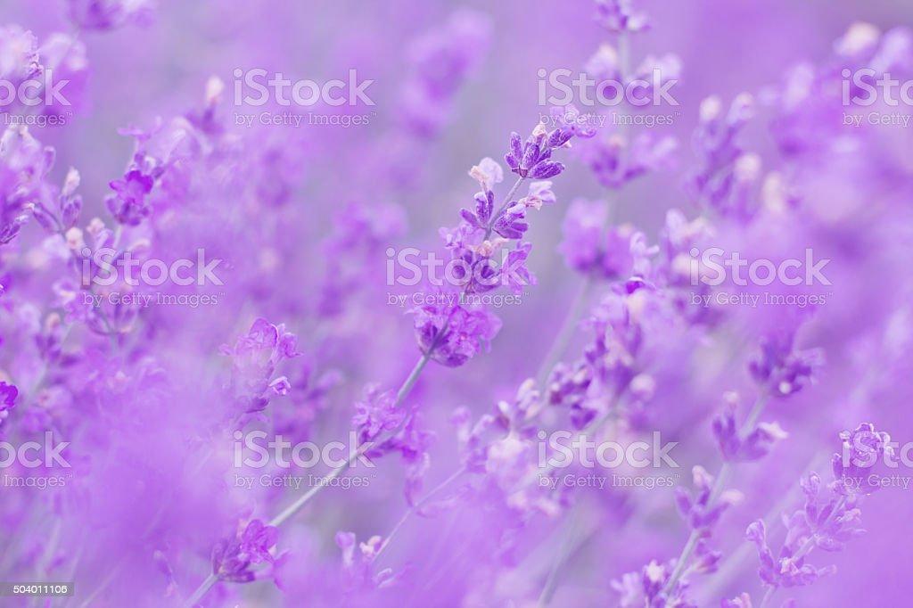 field lavender flowers morning stock photo