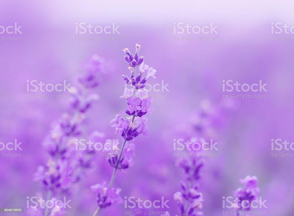 field lavender flowers stock photo