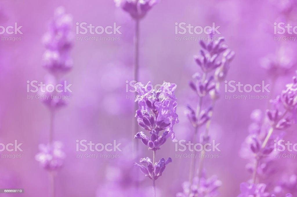 field lavender morning summer stock photo