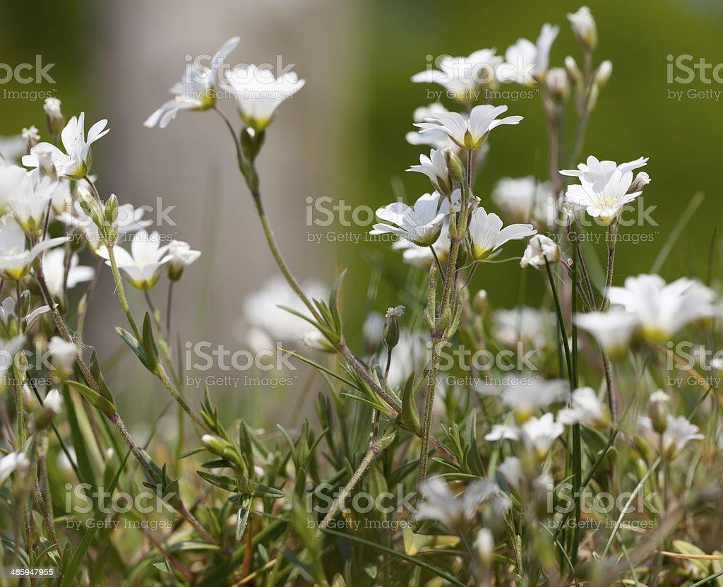 Field Mouse Ear, Chickweed (Cerastium arvense) stock photo