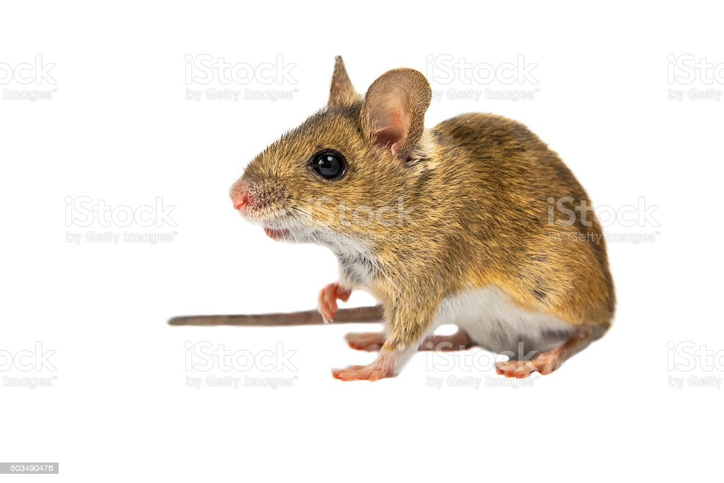 Field Mouse on white stock photo