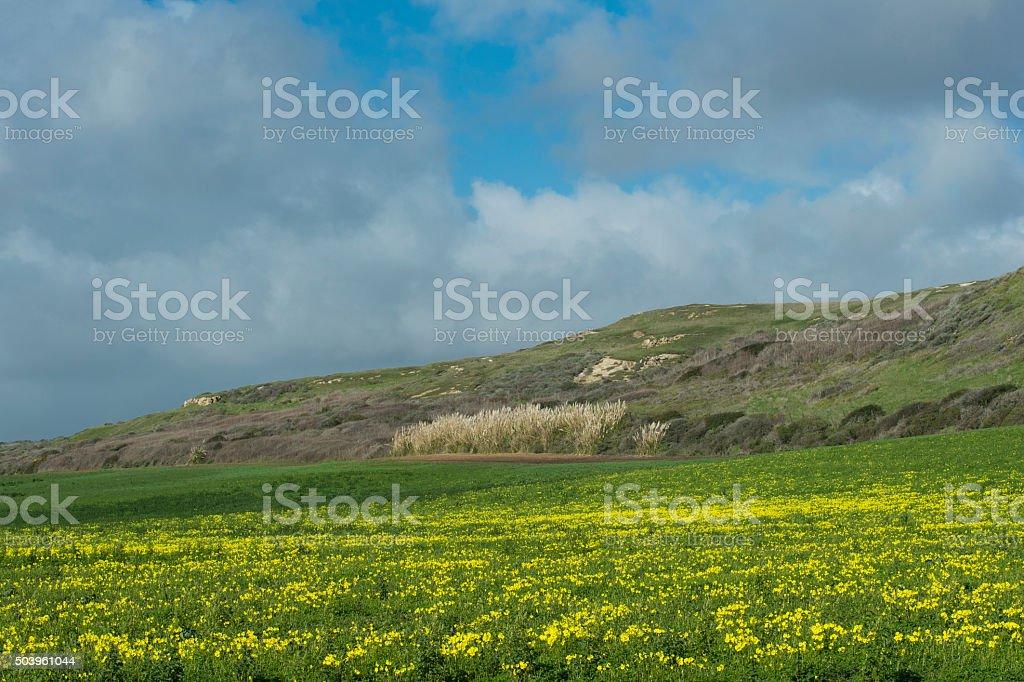 Field Mustard Along the California Coast stock photo