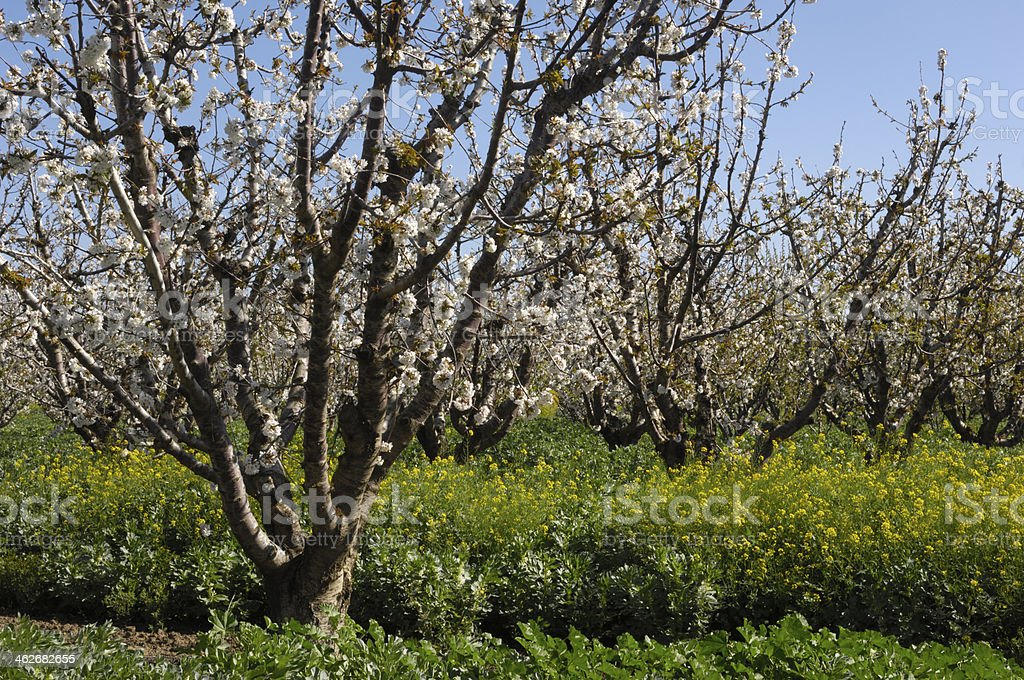 Field Mustard and Cherry Trees royalty-free stock photo