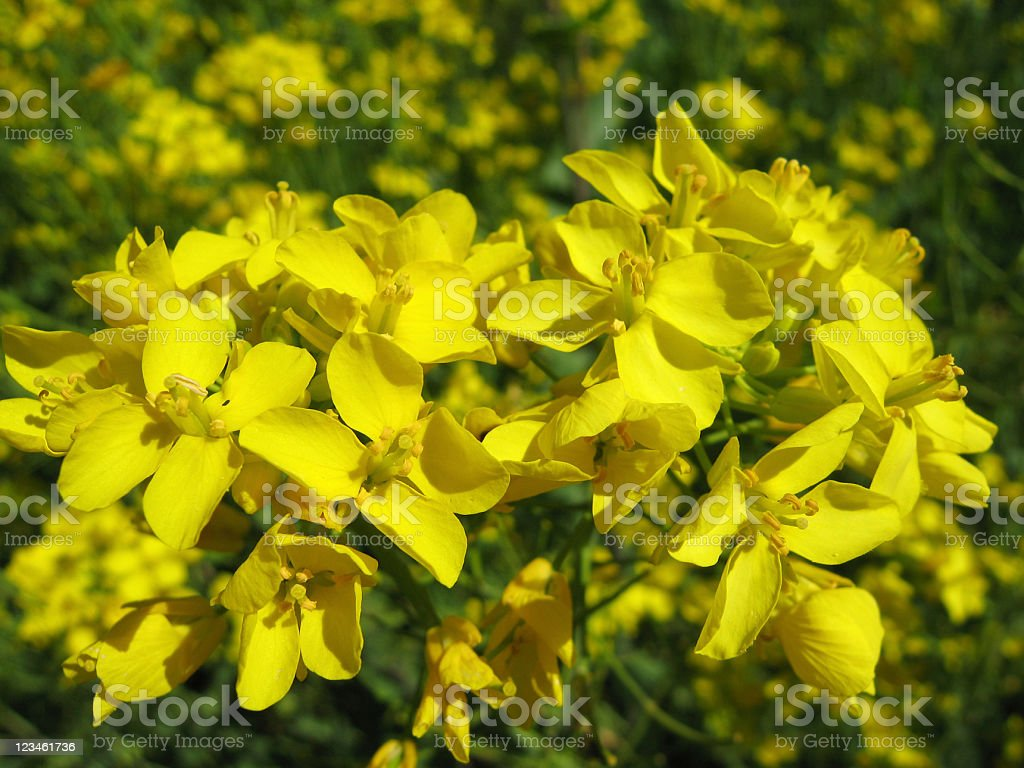 field mustard, Brassica rapa, flowers royalty-free stock photo