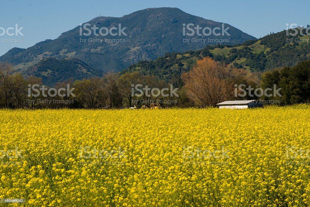 Field Mustard Mount Saint Helena near Calistoga Napa Valley California stock photo