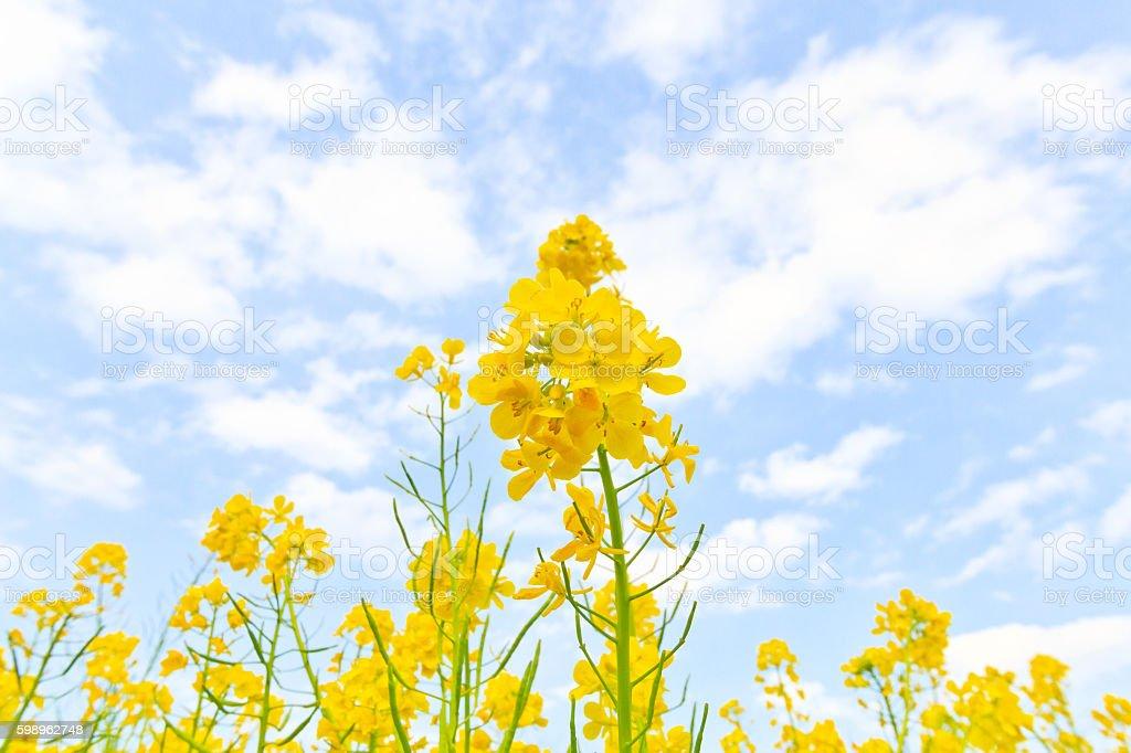 Field mustard stock photo