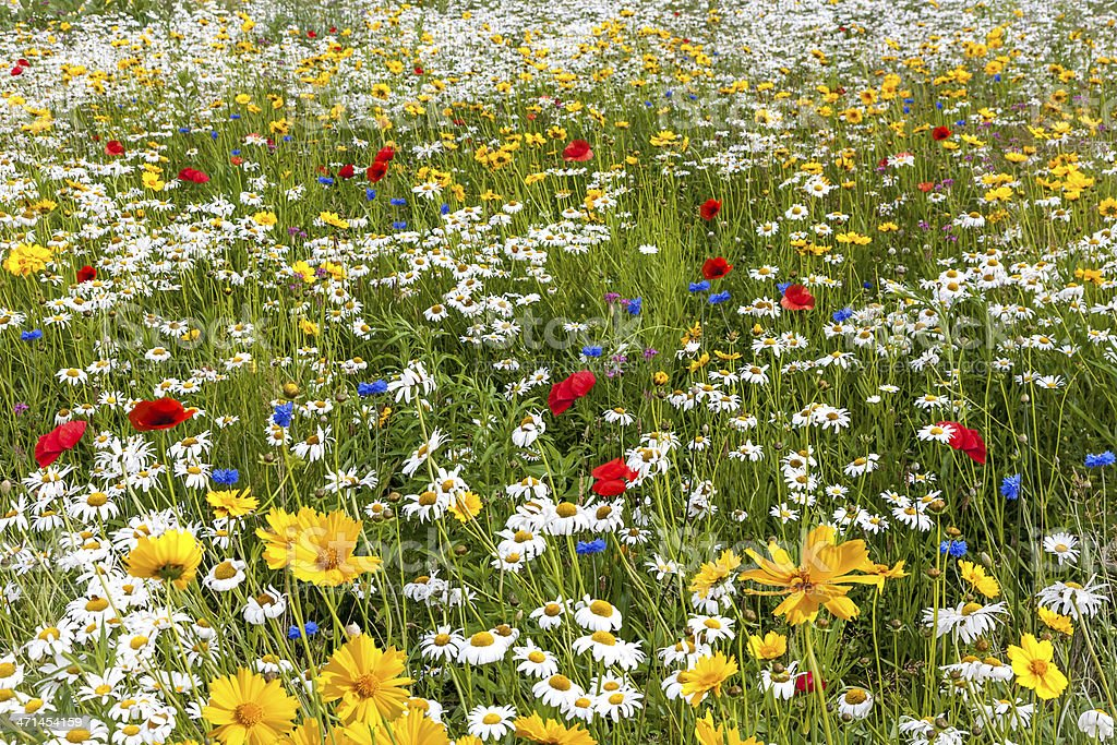 Field Of a Variety of Multicolored Wild Flowers stock photo