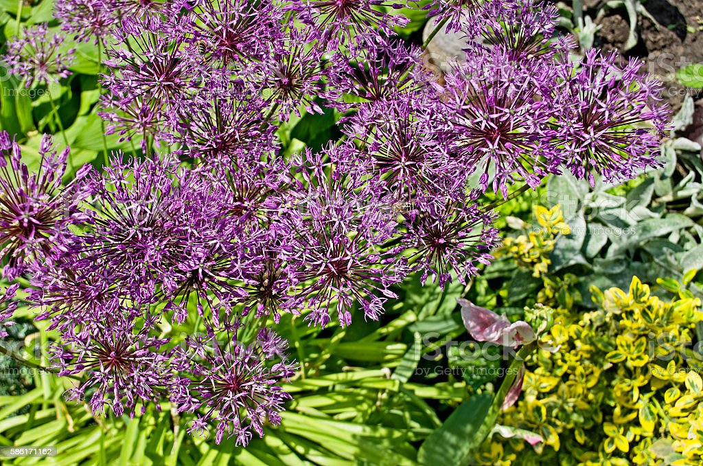 Field of Allium. stock photo