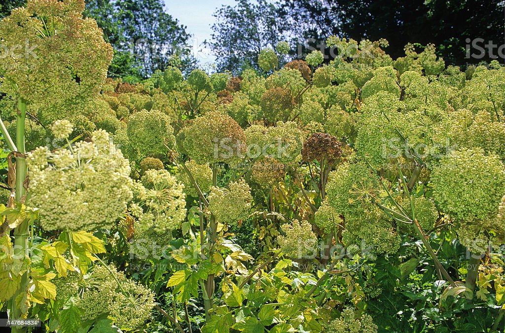 field of angelica stock photo