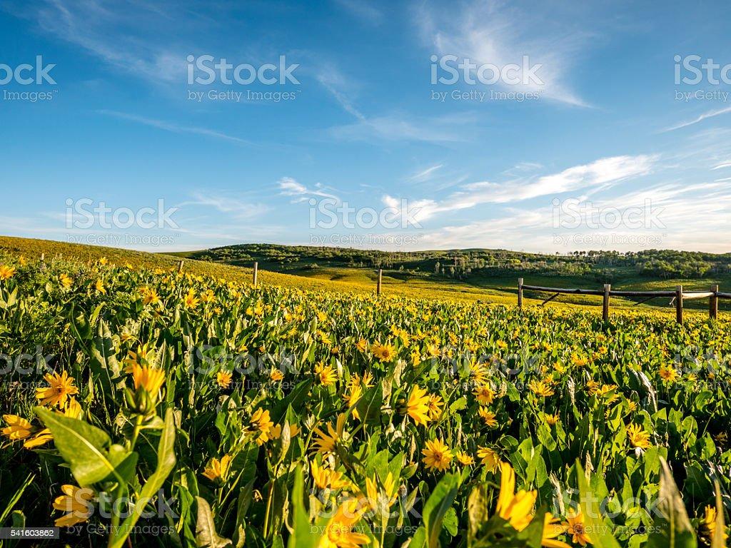 Field of arrowleaf balsamroot flowers stock photo