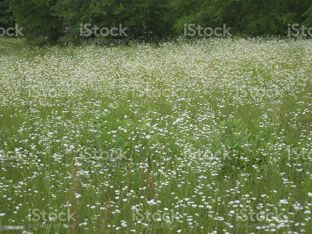 Field of Asters royalty-free stock photo