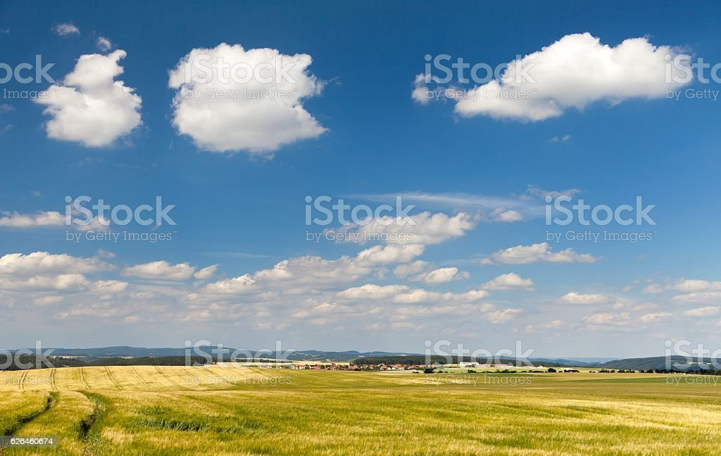 field of barley and beautiful sky with white clouds stock photo