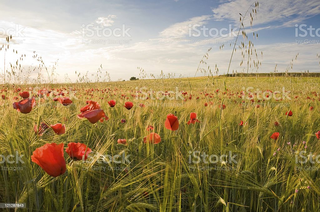 Field of barley and flowers on a sunny day royalty-free stock photo
