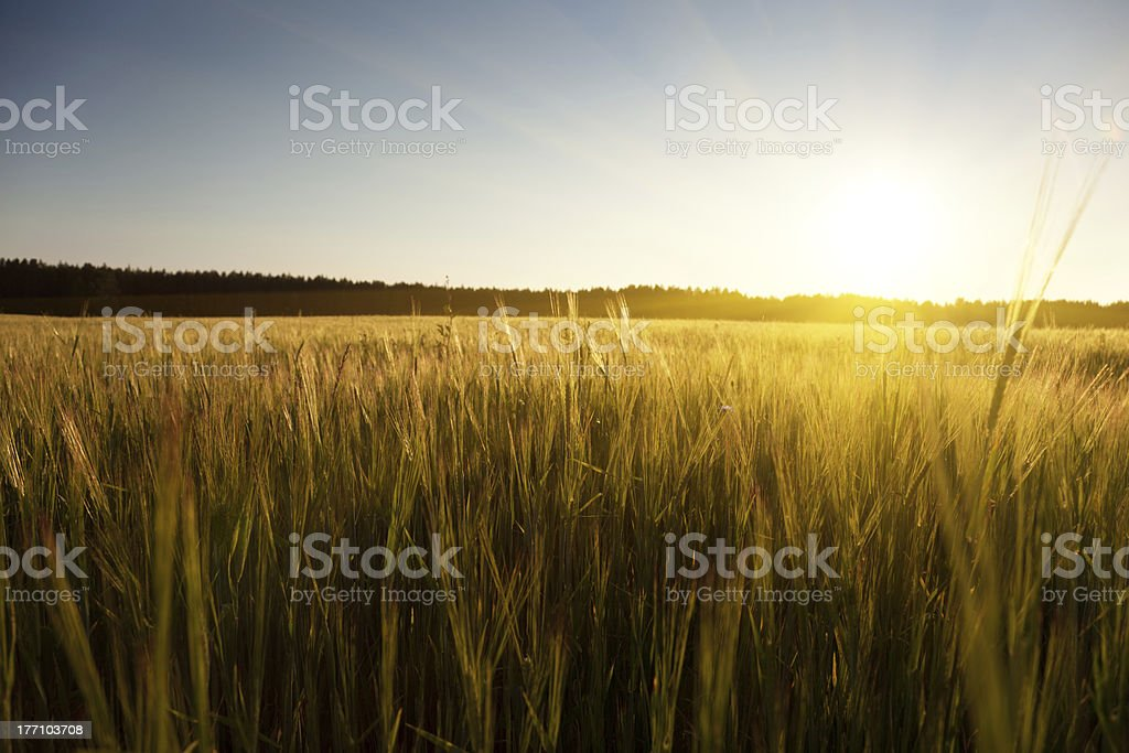 field of barley and sunset royalty-free stock photo