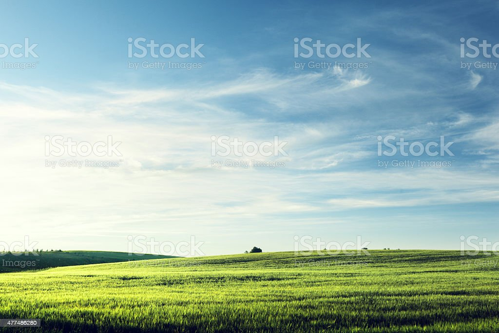 field of barley in sunset time stock photo