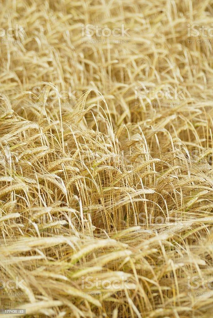 Field of Barley (Hordeum vulgare) royalty-free stock photo