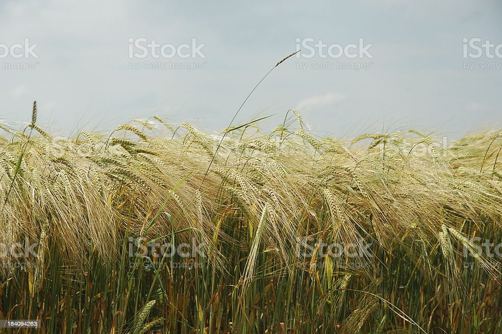 field of barley royalty-free stock photo