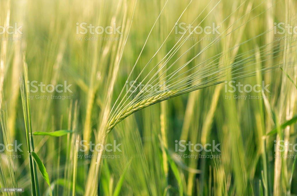 Field of barley plants stock photo