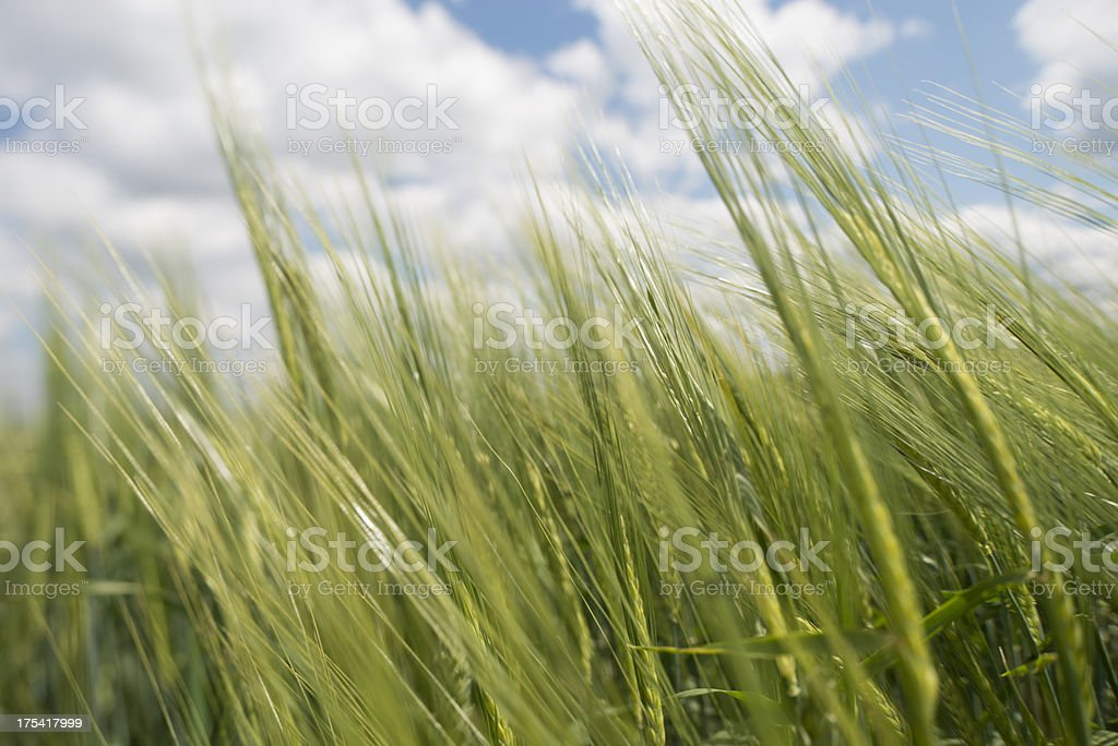 Field of barleycorn against great cloudscape stock photo