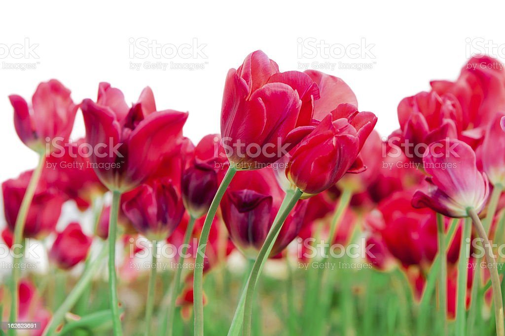 Field Of Beautiful Red Tulips royalty-free stock photo