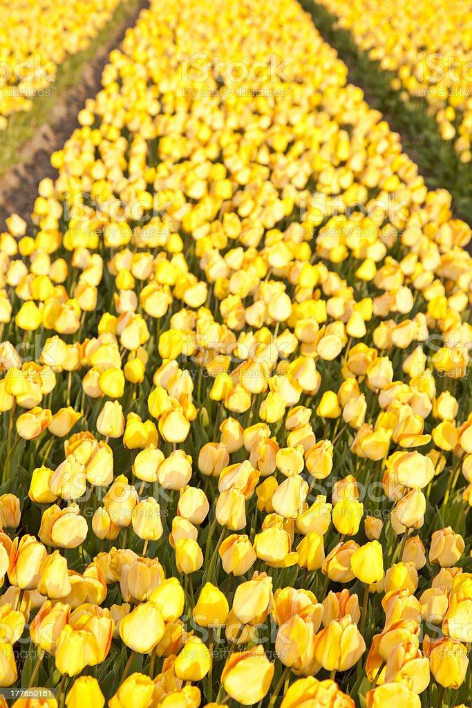 Field of beautiful yellow Dutch tulips stock photo